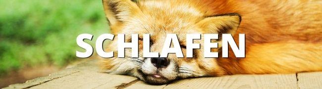 schlafender Fuchs, Schlafen